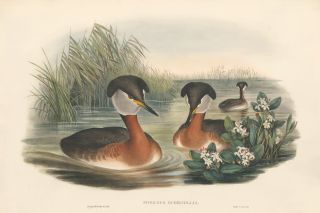 Podiceps Rubricollis [Red-necked grebe]. The Birds of Great Britain. John Gould