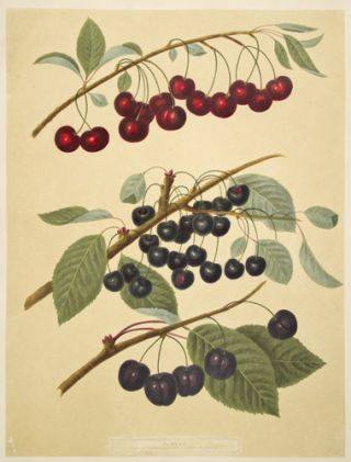 Cherries. Pomona Britannica. George Brookshaw