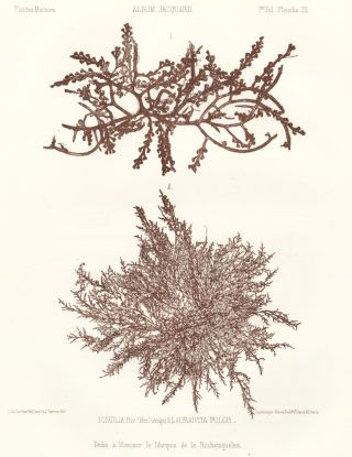 Seaweed: Cecilia, Riv. (Mer Rouge) and Laurantia Pulch. Album Jacquard. Augustin Balleydier
