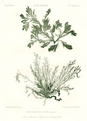 Seaweed: Polypus Revularis and Coferva (Angleterre). Album Jacquard. Augustin Balleydier