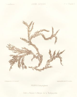 Seaweed: Polypus (Torbay Angleterre). Album Jacquard. Augustin Balleydier