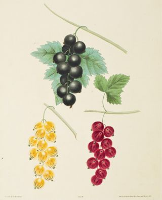 Pl. 3. Currants. Pomona Britannica. George Brookshaw