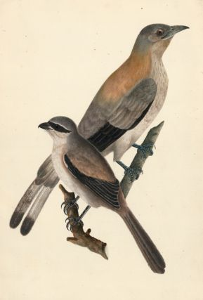 Waxwings. Unknown