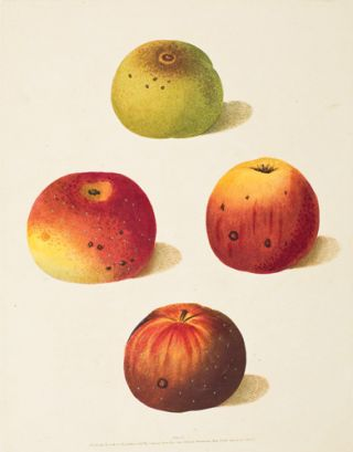 Pl. 55. Four Pippins [Apples]. Pomona Britannica. George Brookshaw