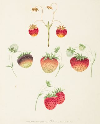 Pl. 1. Strawberry. Pomona Britannica. George Brookshaw