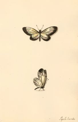 Papilio Euritea. Butterflies and Insects. Sara Anne Moore