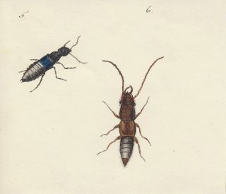 Rove beetles. Butterflies and Insects. Sara Anne Moore