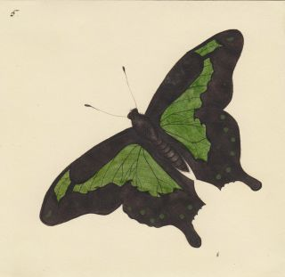Papilio phorcas. Butterflies and Insects. Sara Anne Moore