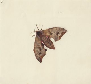 Moth. Butterflies and Insects. Sara Anne Moore