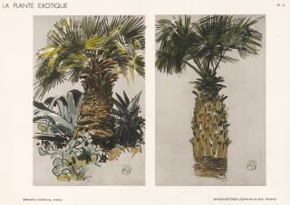 Brahea & Washingtonia. La Plante Exotique. Mathurin Meheut