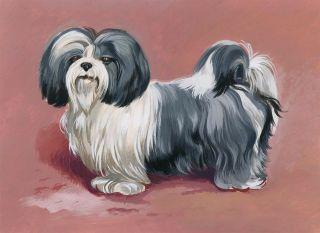 Shih Tzu. Unknown.