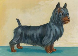 Silky Terrier. Unknown