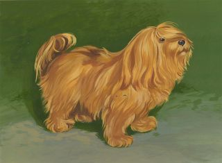 Lhasa Apso. Unknown.