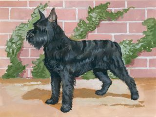 Schnauzer. Unknown