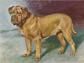 Bordeaux Mastiff. Unknown.