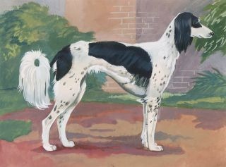 Saluki. Unknown