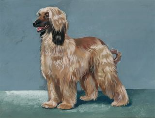 Afghan Hound. Unknown.
