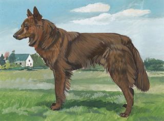 Dutch Shepherd Long-hair. Unknown.