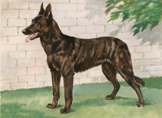 Dutch Shepherd Shorthair. Unknown.