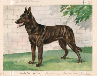 Dutch Shepherd Shorthair.