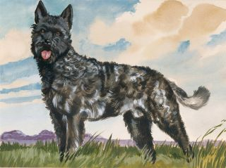 Dutch Shepherd Rough Coat. Unknown