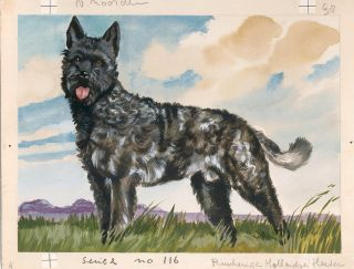Dutch Shepherd Rough Coat.