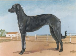 Deerhound. Unknown