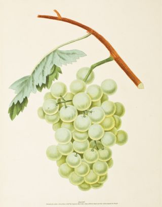 Pl. 35. White Sweet Water [Grapes]. Pomona Britannica. George Brookshaw