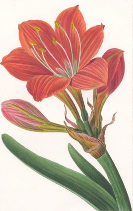 Amaryllis Speciosa [Scarborough Lilly]. Herbier General de l'Amateur. Pancrace Bessa
